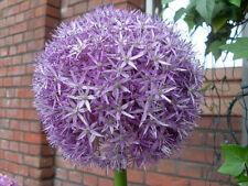 8 graines D' ETOILE DE PERSE (Allium Christophii)G632 STAR OF PERSIA SEED SAMEN