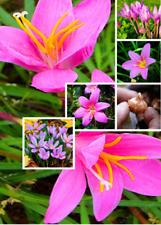2 Bulbs True Pink Crocus Saffron Bulbs,Iran Saffron,(Not Seed),Bonsai Flower