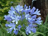 25+ Blue Lily of the Nile Agapanthus Flower Seeds /  Long Lasting Perennial