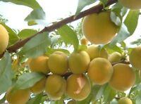 White Georgia Peaches 10 seeds,zaden,samen,semi,sementes,semillas,graines