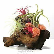 Pink, Purple & Red Air Plant Kit with 3 plants,3 Moss, Driftwood, Food & silicon