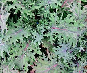 KALE 'Red Russian' 100 seeds vegetable UNUSUAL garden WINTER HARDY heirloom