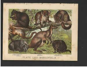 Antique Color Plates (1880) – Kangaroo, Koala, Phalanger, Myrmecobius, Wombat