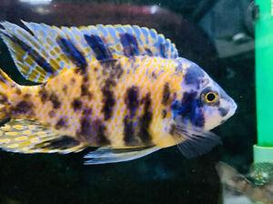 LARGE OB African Cichlids For Fish Tank Aquarium FREE SHIPPING