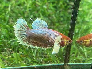 Live Betta Fish - Female - Fancy Dumbo Betta HMPK , Age 3 month From Thailand