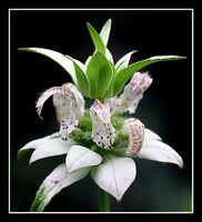 beebalm, spotted, 320 seeds, RARE PERENNIAL! white flower, GroCo**