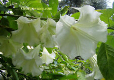 Brugmansia Betty Marshall Angel Trumpet 8 seeds