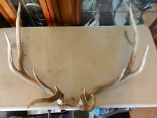 "5x6 New Mexico Elk Rack Antlers Skull Mount Ready To Hang 31"" wide"