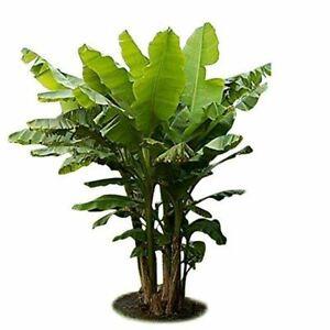 "Ohio Grown Winter Hardy Basjoo Banana Plant - Musa - 4"" Pot"