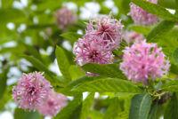 ein Markenzeichen der Seifenblume. lieblich duftende Blüten Riesengrosse