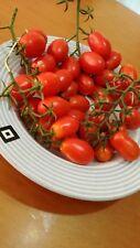 40  semi pomodoro datterino ( semi italiani ) bio