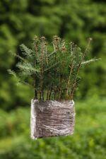10 Stück Jungpflanzen Weißtanne Abies Alba im Topf 15-25cm