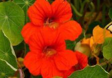 Flower Seeds Nasturtium Orange Scarlet Cut Bedding Garden Pictorial Packet UK