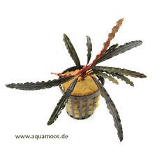 Bucephalandra Alamanda Red - neu und selten !  große rot-braune Buce