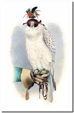 "Vintage  Falconer Bird Art CANVAS PRINT~ Hooded Falcon 24""X16"""