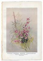 1899 Antique WILD FLOWER Print by Ellis ROWAN - Calopogon Grass Pink Botanical