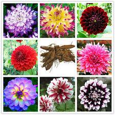 2 Pcs Dahlia Colorful Border Perennials Plant Roots Home Garden Decor Easy Deko