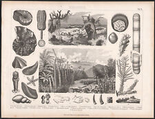 1870 Gravure originale histoire naturelle science Tertiaire géologie botanique