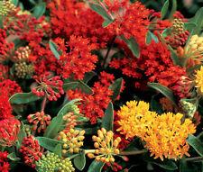 BUTTERFLY WEED GAY BUTTERFLIES Asclepias Tuberosa - 25 Bulk Seeds