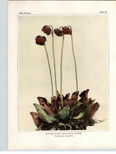 1934 Wildflower Book Plate Pitcher Plant & Spatulate Leaved Sundew