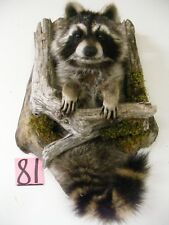 Wyoming Raccoon Mount Taxidermy Western