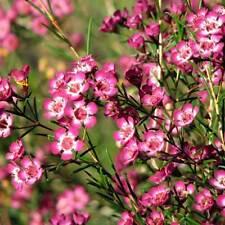 CHAMELAUCIUM uncinatum Geraldton Wax Seeds (N 66)