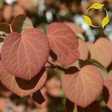 Katsura Tree Cercidiphyllum Japonicum 25,50,150,300 Seeds