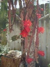 RED ORCHID/EPIPHYLLUM CACTUS small plant by Aimee & Dana's Christmas Shop