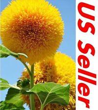 20 PCSTeddy Bear Sunflower Seeds B58, Beautiful Garden Blooming Flower