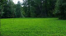 5 Lbs JUMBO LADINO WHITE CLOVER SEED For Food Plot Larger Leaves Faster Growing