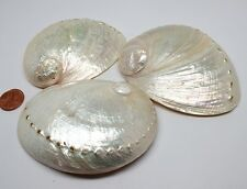 Pearl Cream Abalone Shells (Case Pack 3) Free Shipping