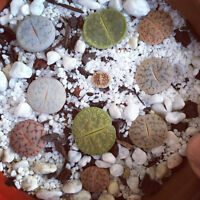 Lithops mixed 10 seeds Rare Cactus Succulent Plant Garden Gift Flower