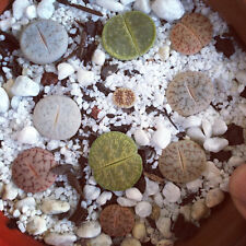 50 Lithops mixed seeds Rare Cactus Succulent Plant Garden Gift Flower