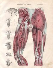 1839 Tavola anatomica sistema circolatorio, muscolare litografia acquerellata