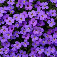220pcs Cascade Purple Aubrieta Flower Seeds Perennial Ground Cover Romantic