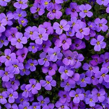 220pcs Cascade Purple Aubrieta Flower Seeds Perennial Ground Cover Romantic