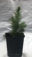 Colorado Blue Spruce, Picea Pungens Glauca Container Grown Plants in Pots