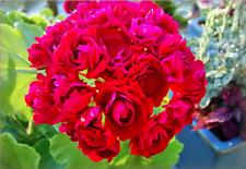 2 cuttings ~ Plum Rosebud ~ Geranium Plant
