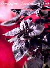 200 graines de Basilic Pourpre - SEB-0055