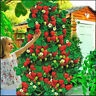 Red Climbing Strawberry 100 PCS Seeds Bonsai Fruit Plans Garden Sweet Delicious