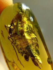 YL0400 17mm Large Planthopper Larva in Fossil Burmite Amber