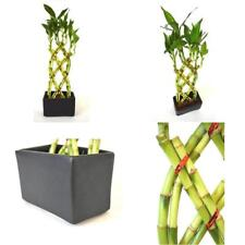 Live 8 Braided Style Lucky Bamboo Plant Arrangement with Black Vase Best Gift