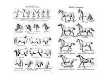 Pferd Anatomie Exterieur & Gangarten um 1895 Faksimile 2 nach Stahlstich 24b