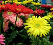 50pcs Bonsai Seeds Gerbera Daisy Hybrids Mix Flowers Home Garden Beautiful