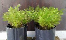 Pokok Asparagus/Sprenger's Asparagus Fern tree