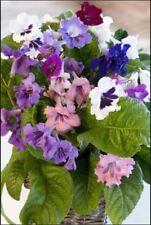Flower - Streptocarpus - Wiesmore Hybrids - Cape Primrose - 10 Pelleted Seed