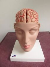Nasco Head w/ Brain Model C25