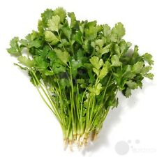 Herb Vegetable Seed - coriander 150 seeds Garden yard Patio Plants