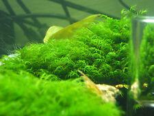 Mini Phönixmoos fissidens sp. Mini *Rarität* ca. 10x10cm 9,99€/100ml