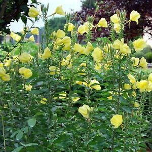 Common Evening Primrose / Oenothera biennis / Scented / Hardy / 1000 Seeds